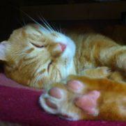 安心して肉球を向けて寝る保護した茶トラ猫