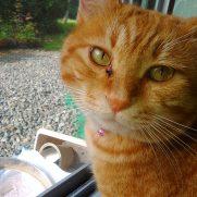 窓辺で名前に振り向く保護した茶トラ猫
