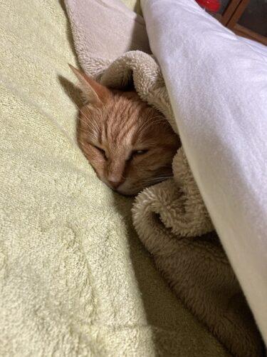 甘えて布団で寝る保護した茶トラ猫