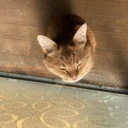 日向ぼっこする茶トラ猫